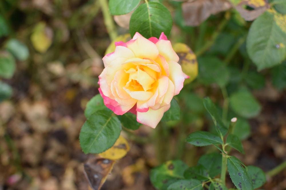 beautiful rose at marennà