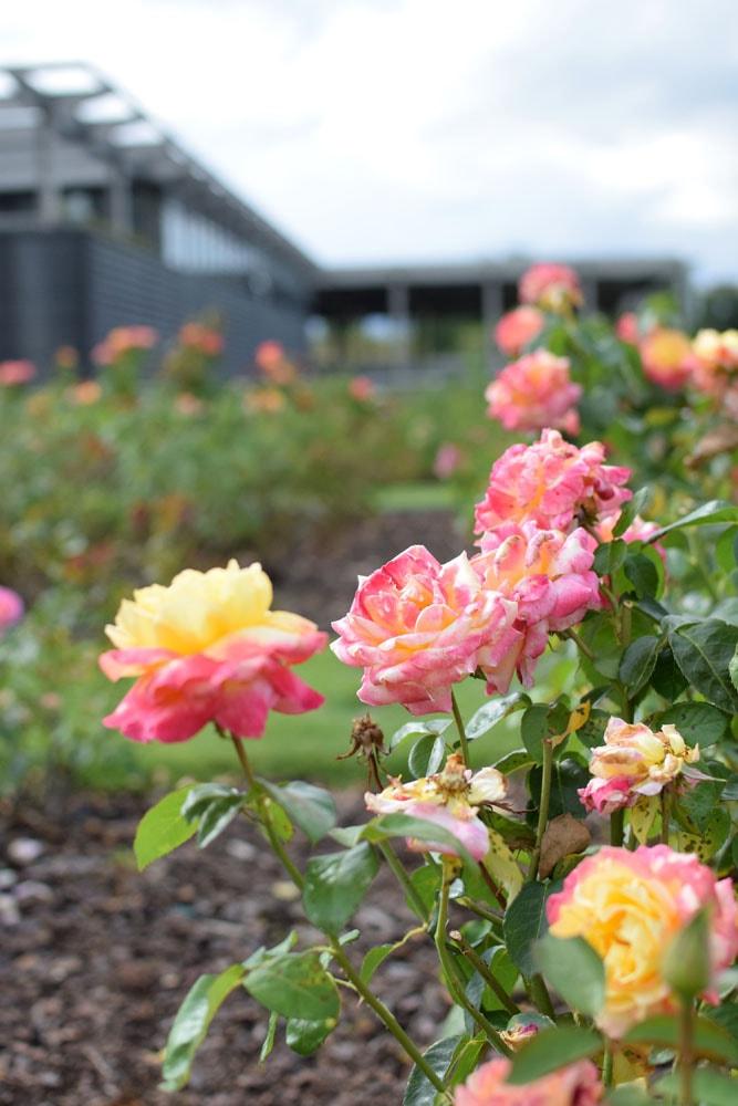 un beau jardin de roses chez marennà